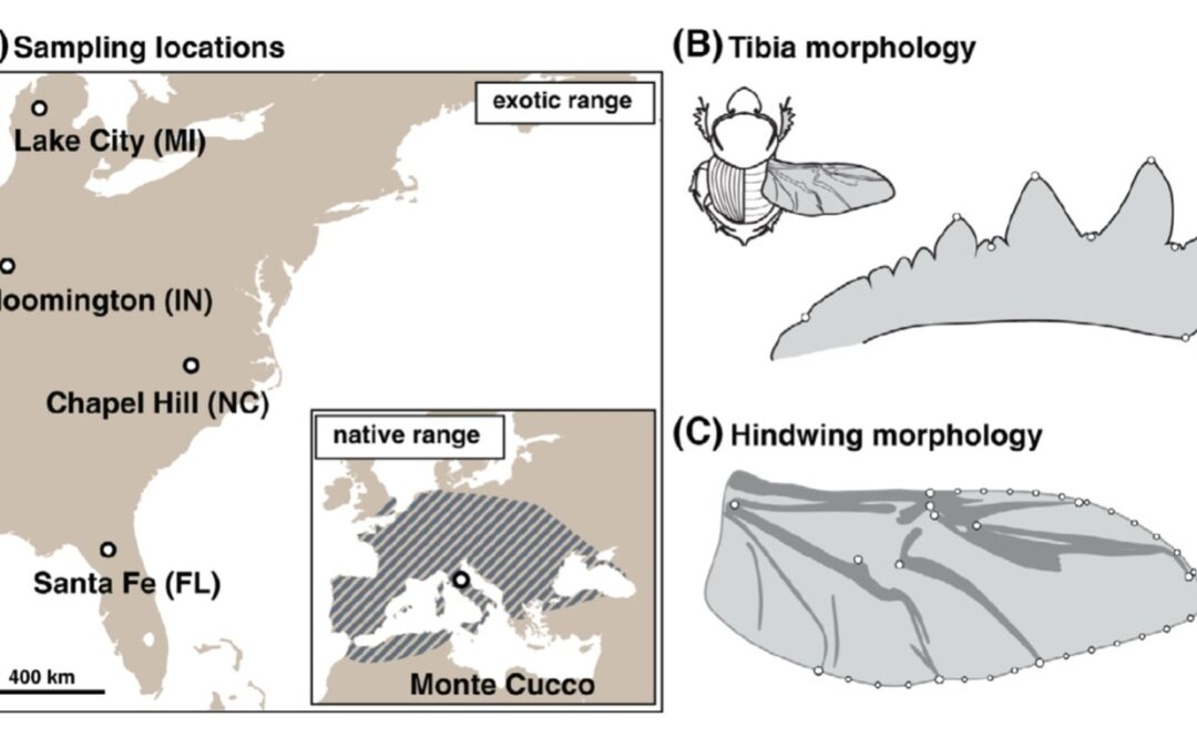 Rapid differentiation of plasticity in life history and morphology during invasive range expansion and concurrent local adaptation in the horned beetle Onthophagus taurus (2020)